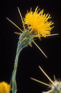 Yellow_star_thistle